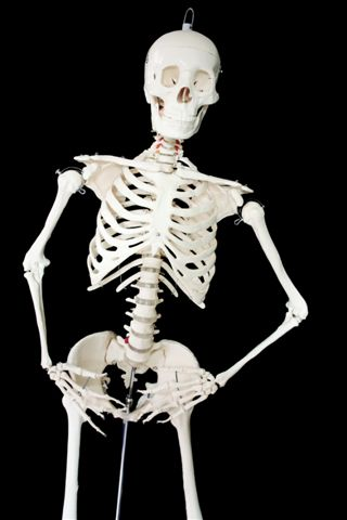 168cm Full Sized Skeleton (Male)